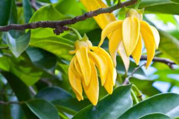 ylang-ylang-flowers